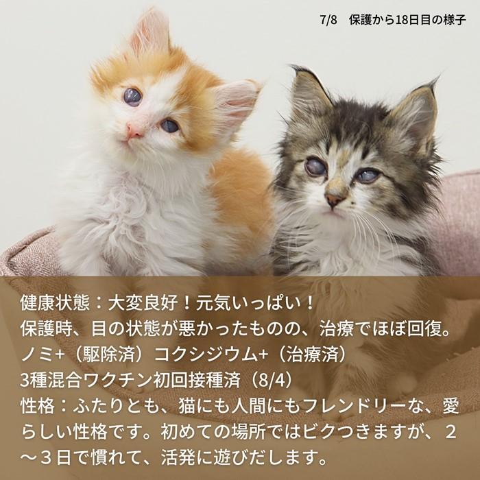 子猫里親募集 石川県 富山県 福井県 いつつぼし動物病院
